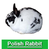 Navigate to polish rabbit page