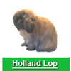 Navigate to holland lop page