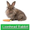 Navigate to lionhead rabbit page
