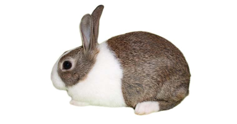 dutch rabbit brown white