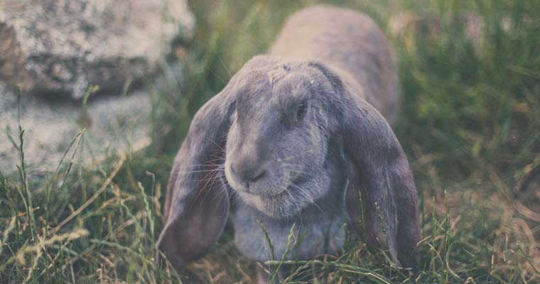 English lop in grass