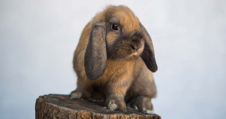 holland lop posing