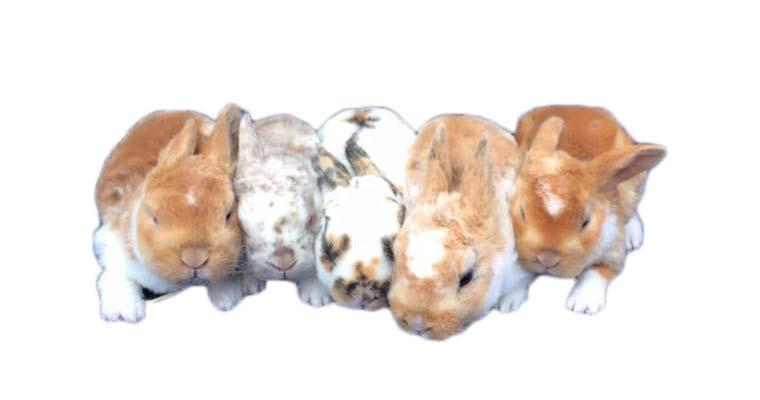newborn mini rex rabbits