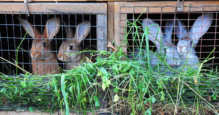 rabbits-in-hutch