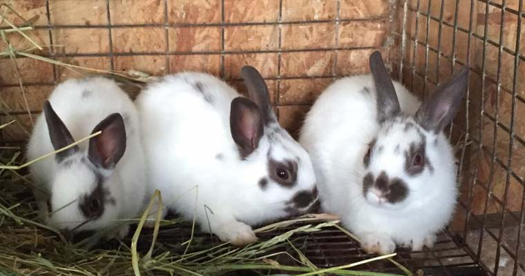 photo How to Care for Dutch Rabbits