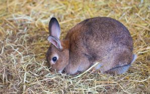 rabbit eats hay