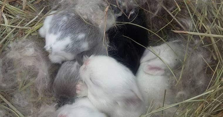 american fuzzy lop babies