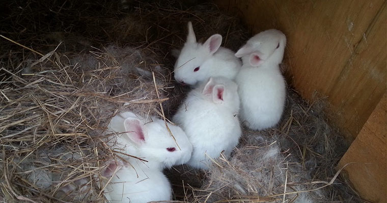 american white rabbits