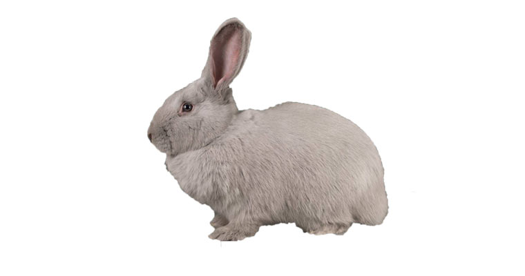 beveren rabbit