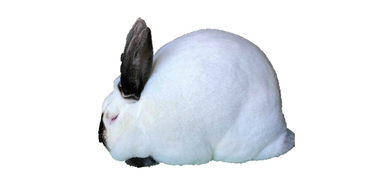 californian rabbit