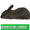 Navigate to american rabbit page