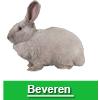 Navigate to beveren rabbit page