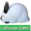 Navigate to californian rabbit page