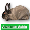 Navigate to american sable rabbit page