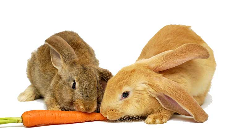 rabbits eating carrot