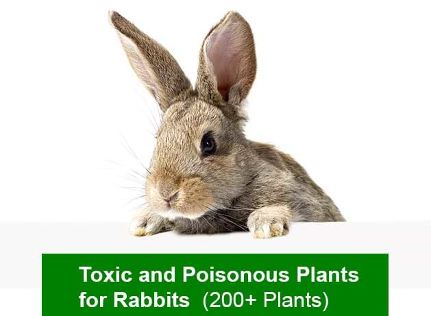 toxic and poisonous plants for rabbits